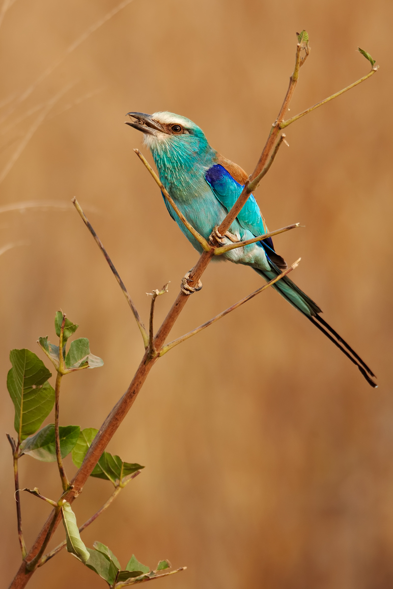 Abyssinian-Roller-insect