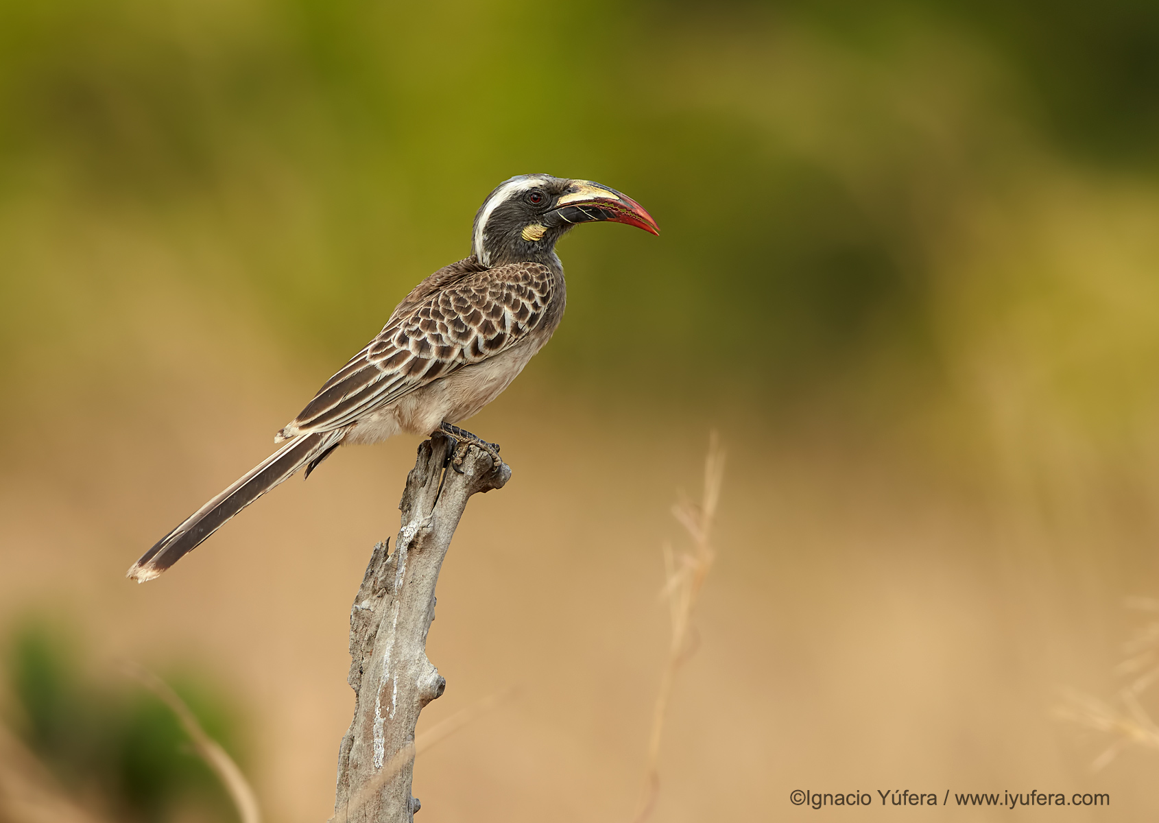 African-grey-hornbill-female