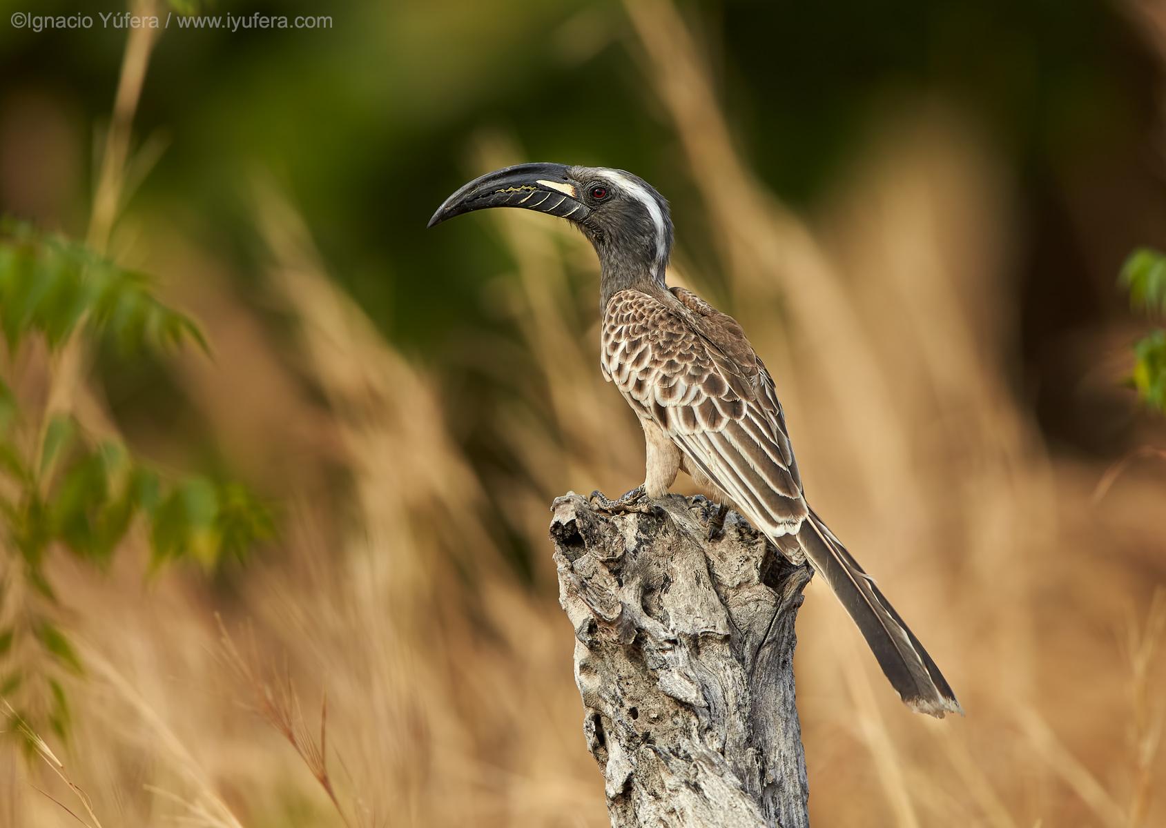 African-grey-hornbill-male