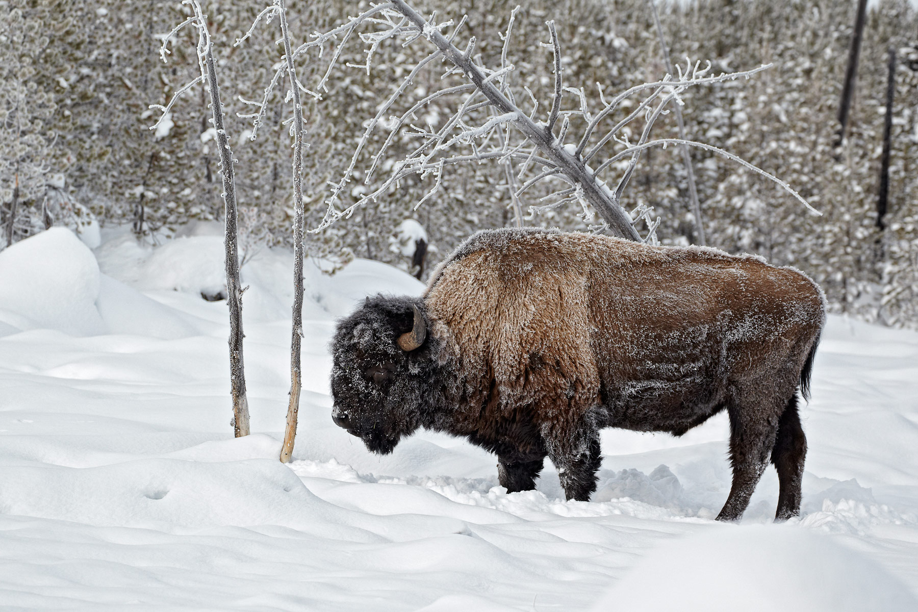 American-bison-in-the-snow