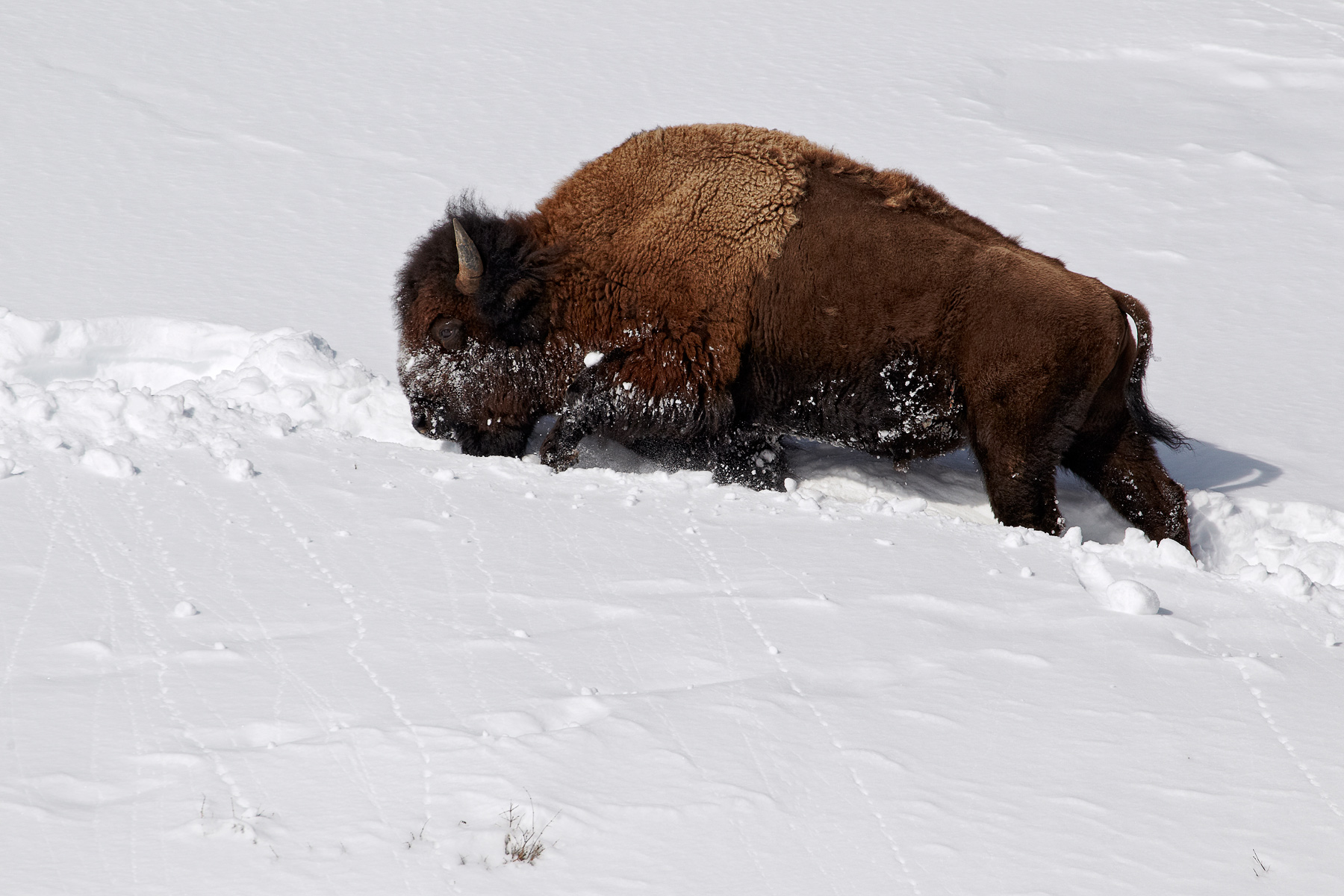 American-bison-slope