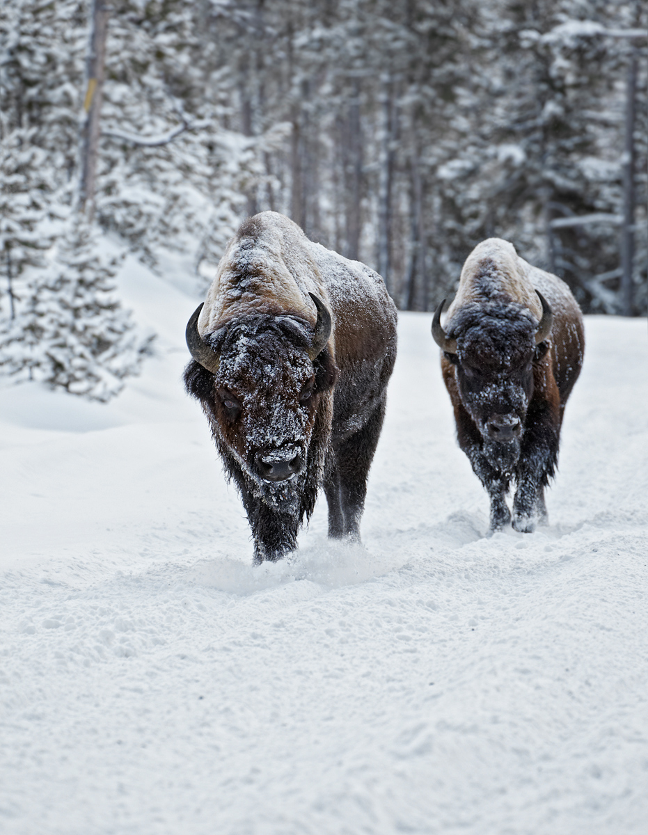 American-bisons