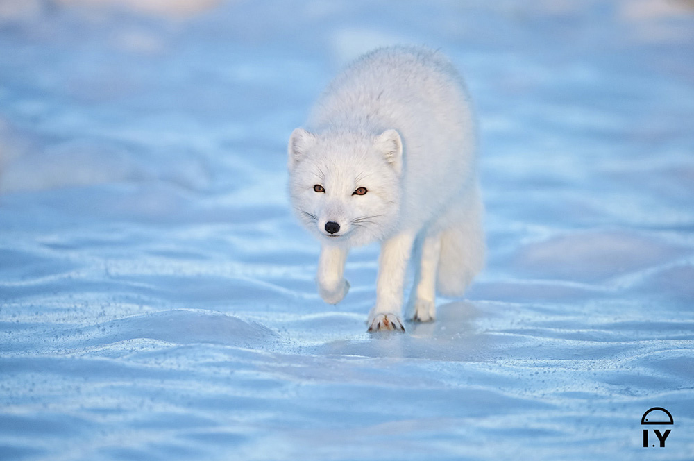 Artic Fox on Ice