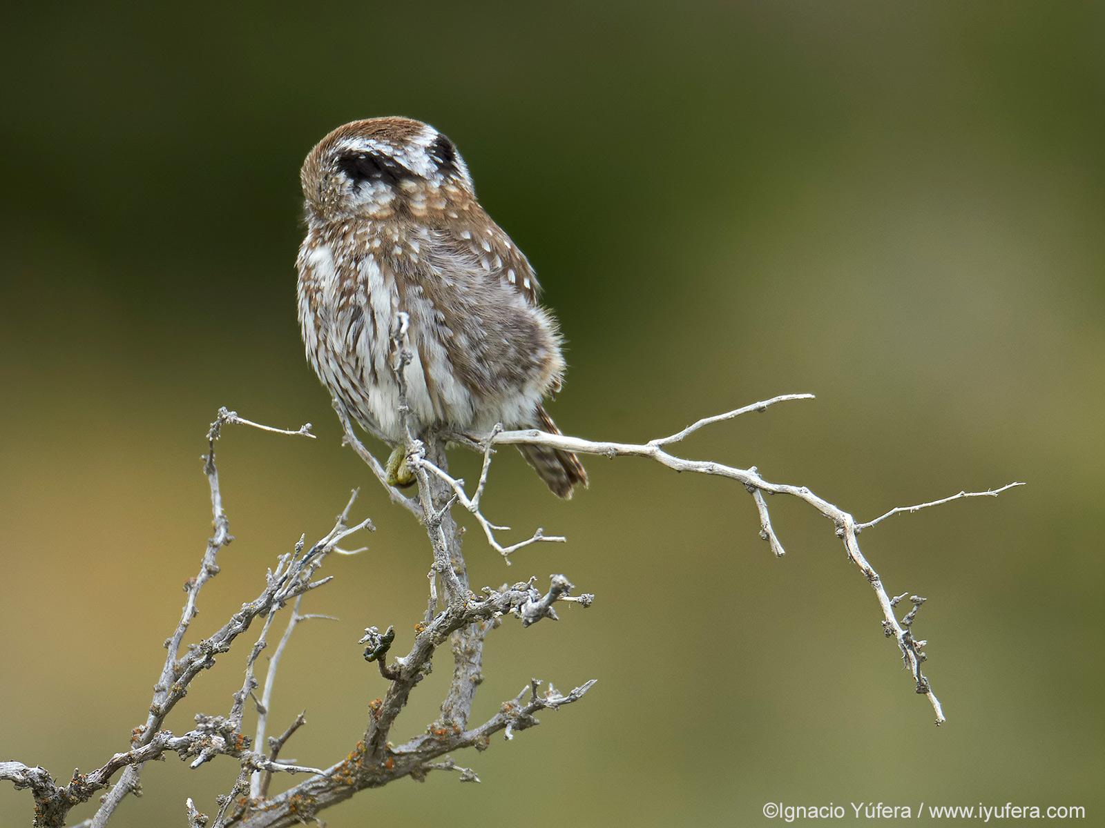Austral-Pigmy-owl-twig-back