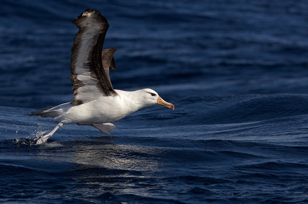 Black Browed Albatross South Africa