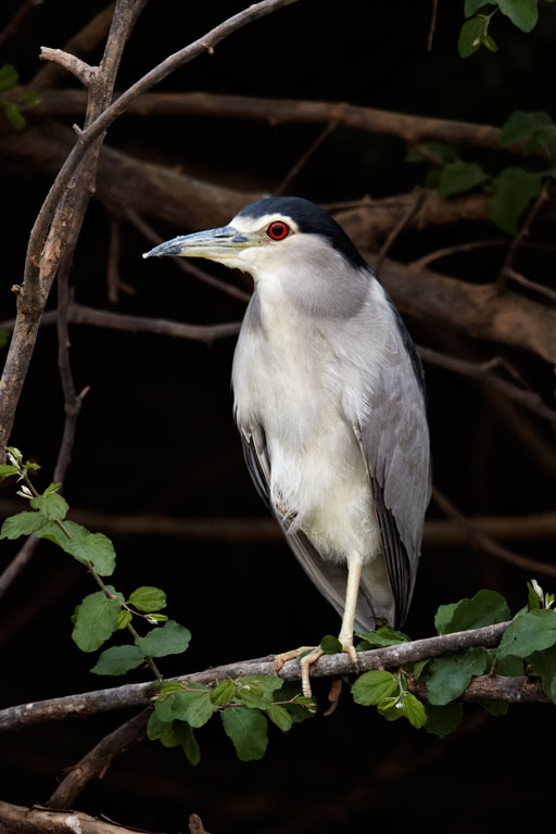 Black-crowned Night Heron (Nycticorax nycticorax), Gambia river, Niokolo-Koba area, Senegal.