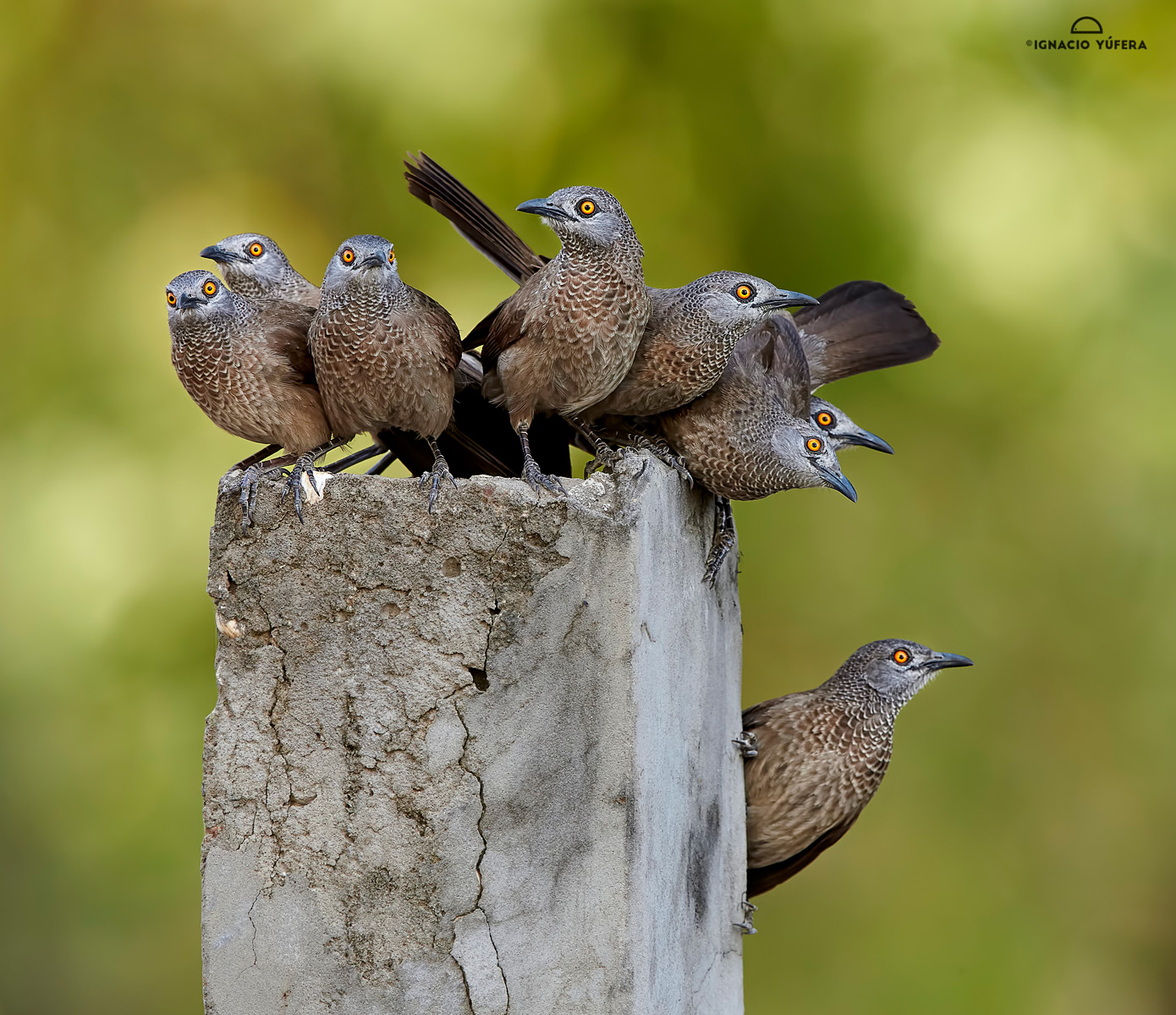 Brown-babblers-clon-b