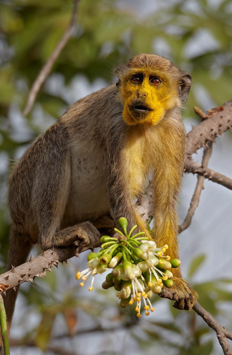 Callithrix Monkey