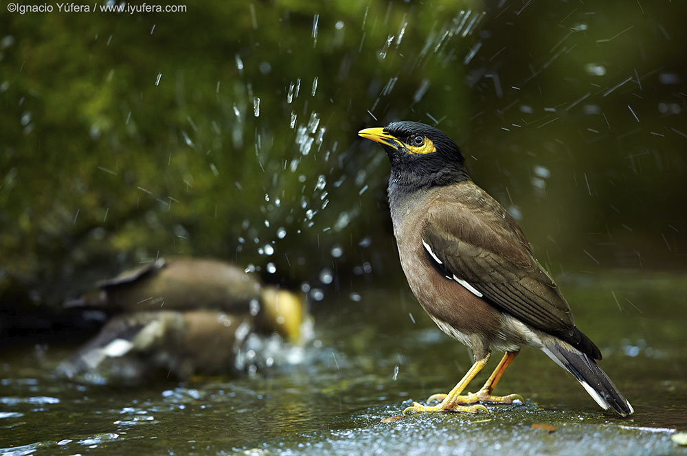 Common Myna Bath Bali