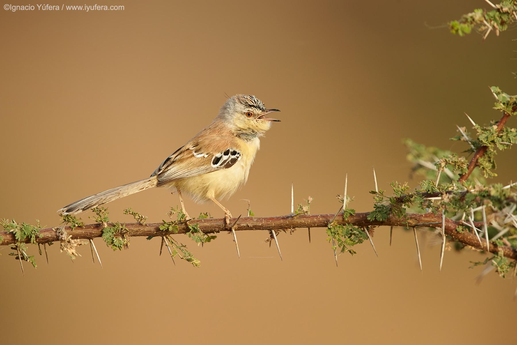 Cricket-warbler-sing-2