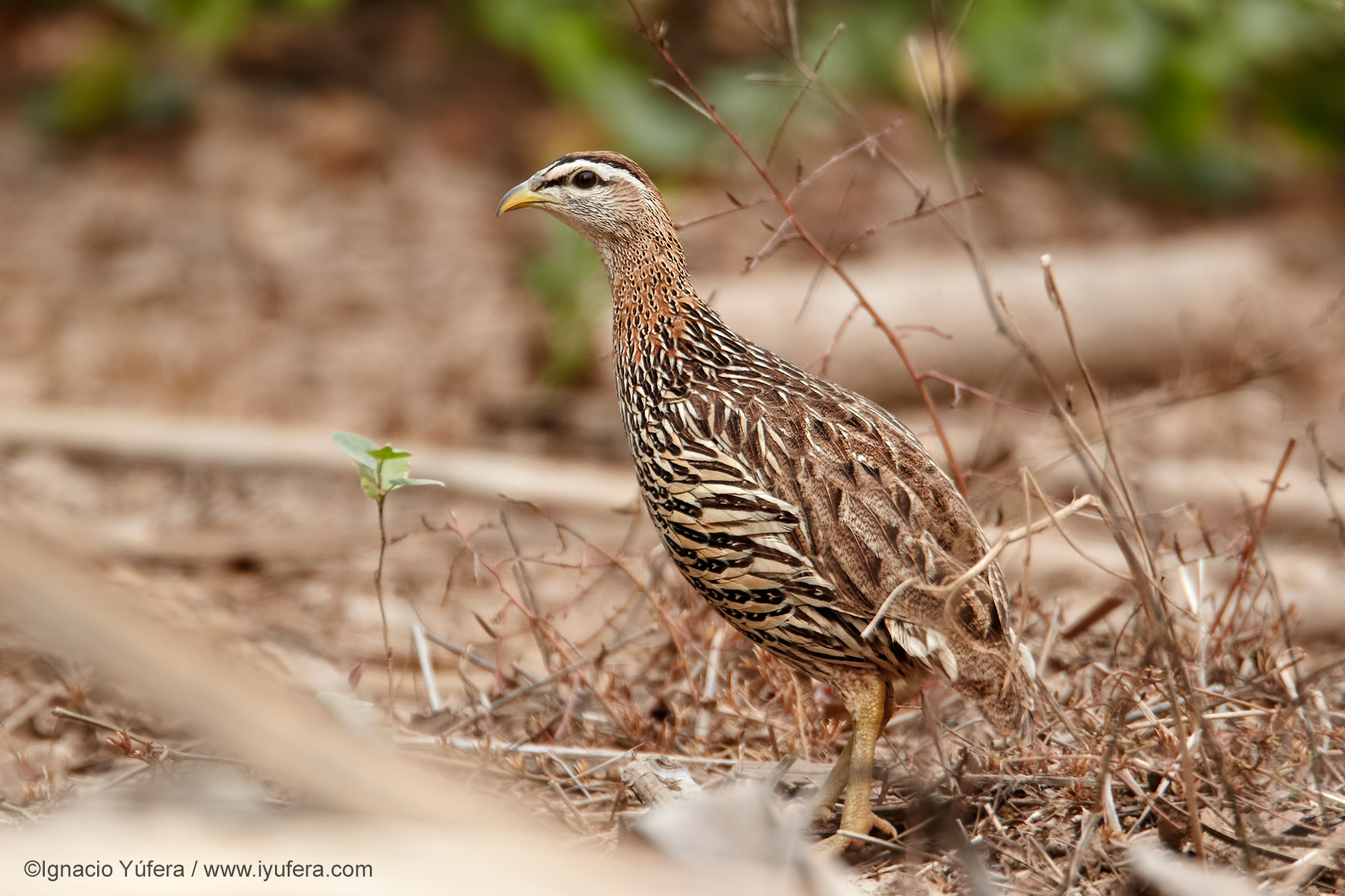 Double-spurred-francolin-2