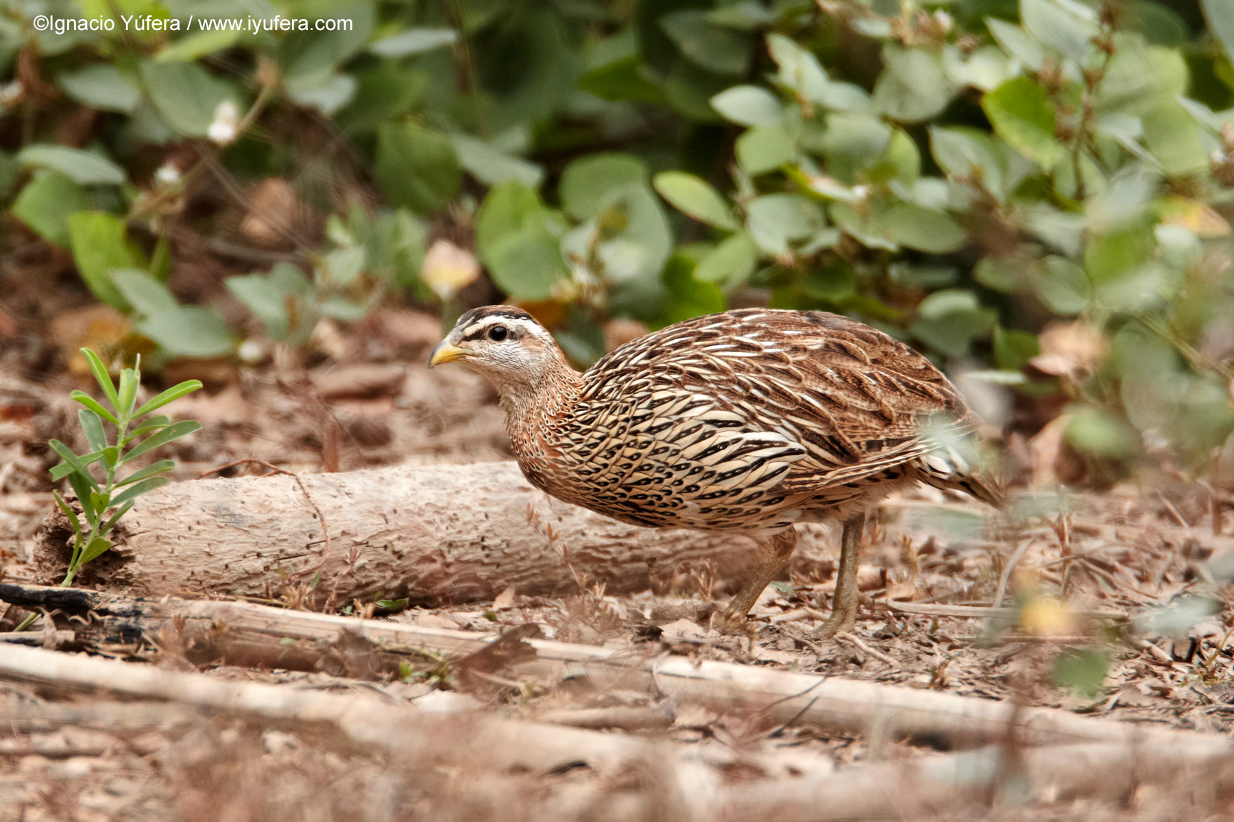 Double-spurred-francolin
