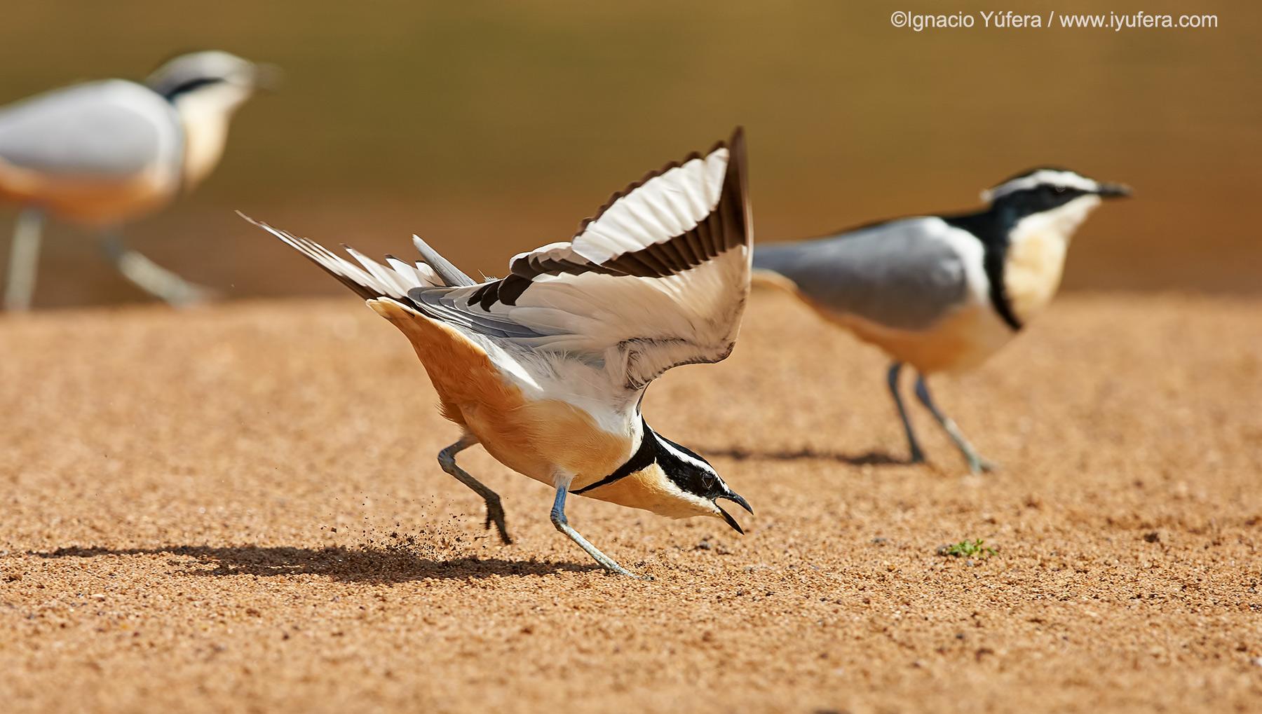 Egyptian-plover-1