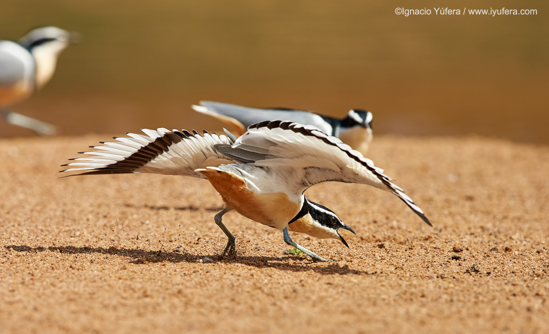 Egyptian-plover-display-2