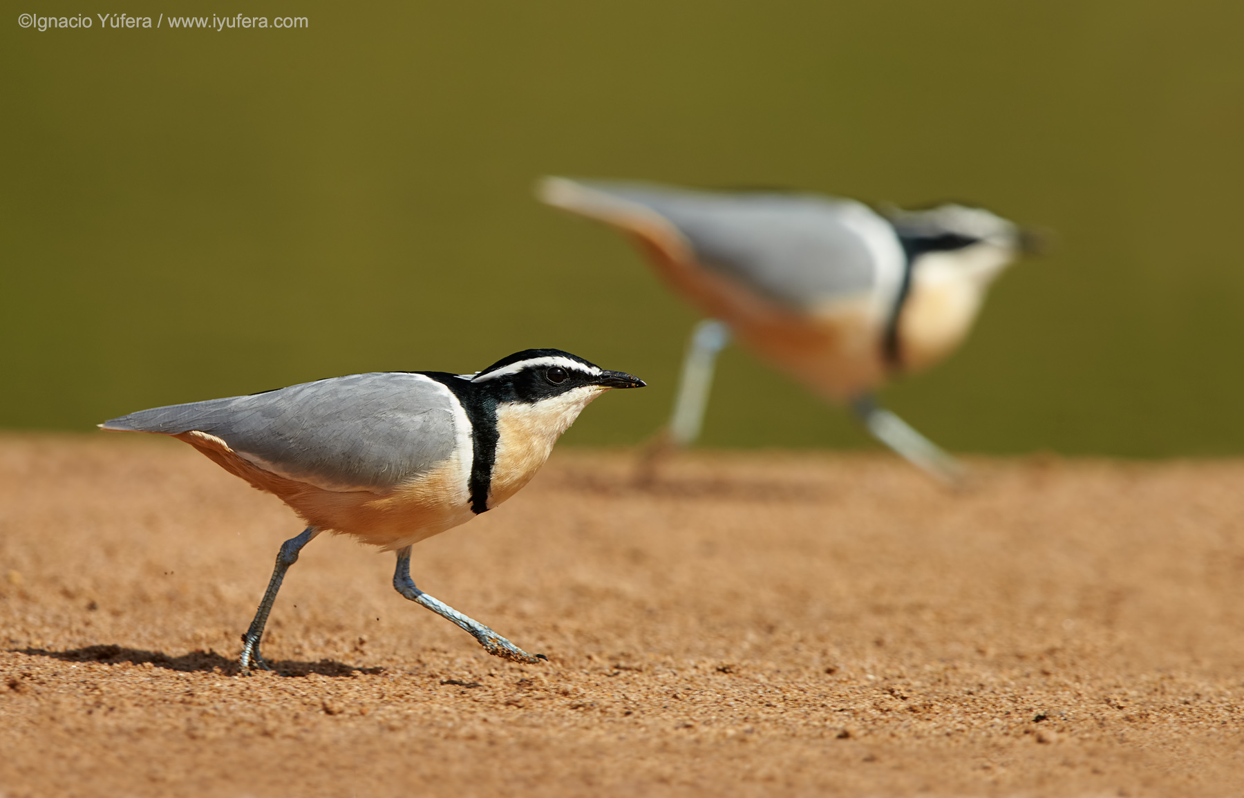 Egyptian-plover-pair-run