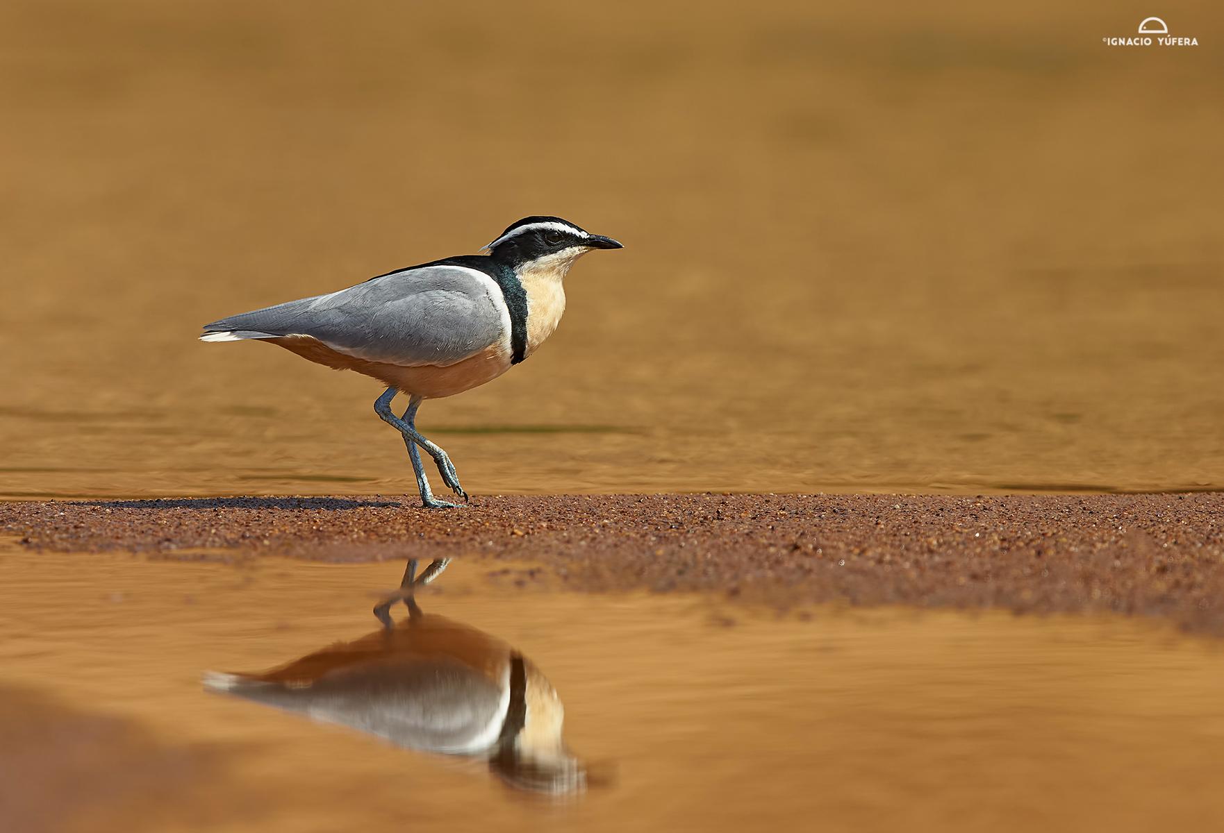 Egyptian-plover-reflex