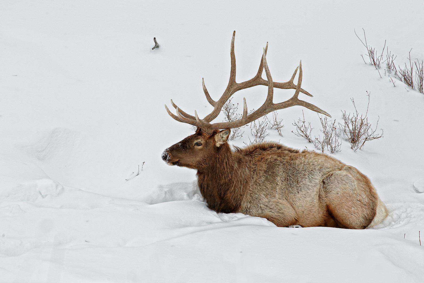 Elk/Wapiti
