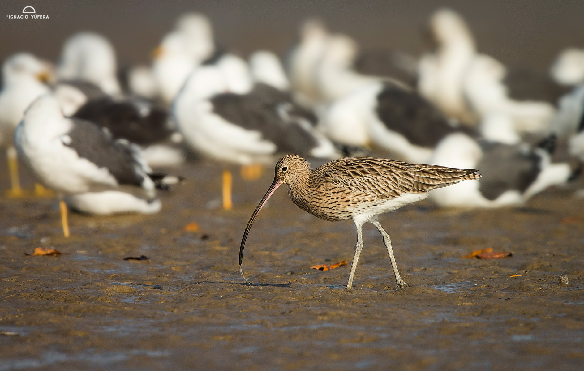 Eurasian-curlew-2