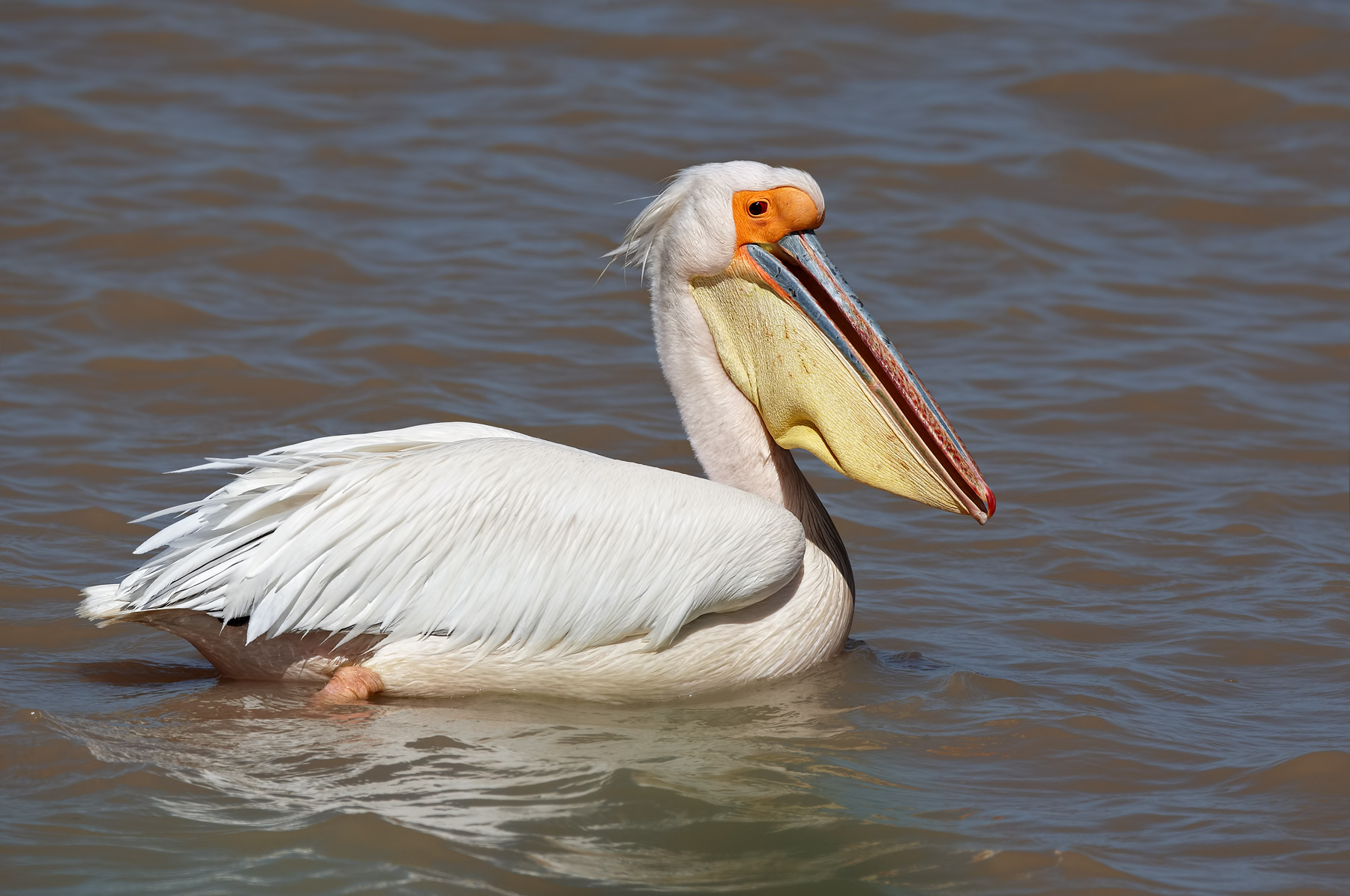 Great-White-Pelican-male