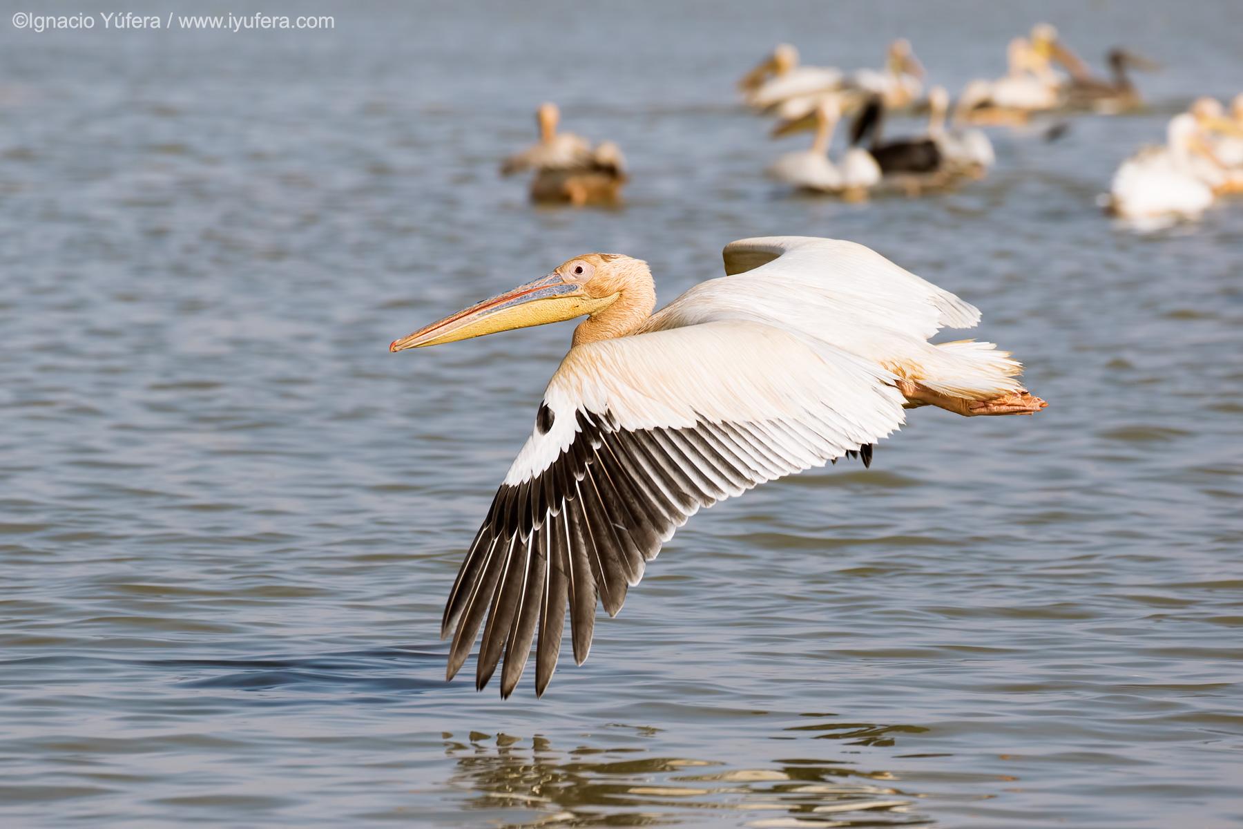Great-White-pelican-flight