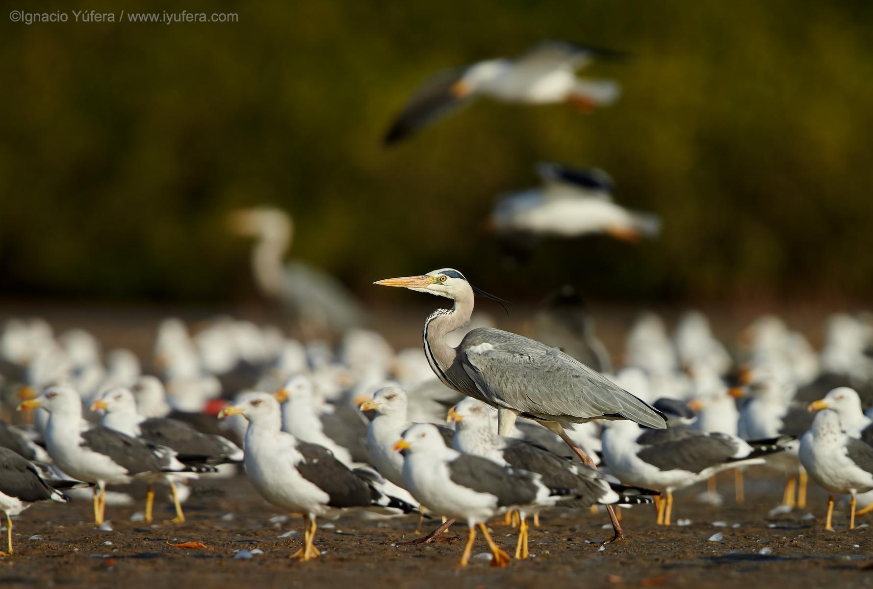 Grey-heron-and-Lesser-black-backed-gulls