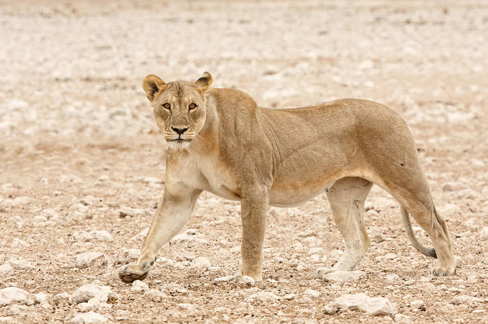 Lioness Namibia Photography