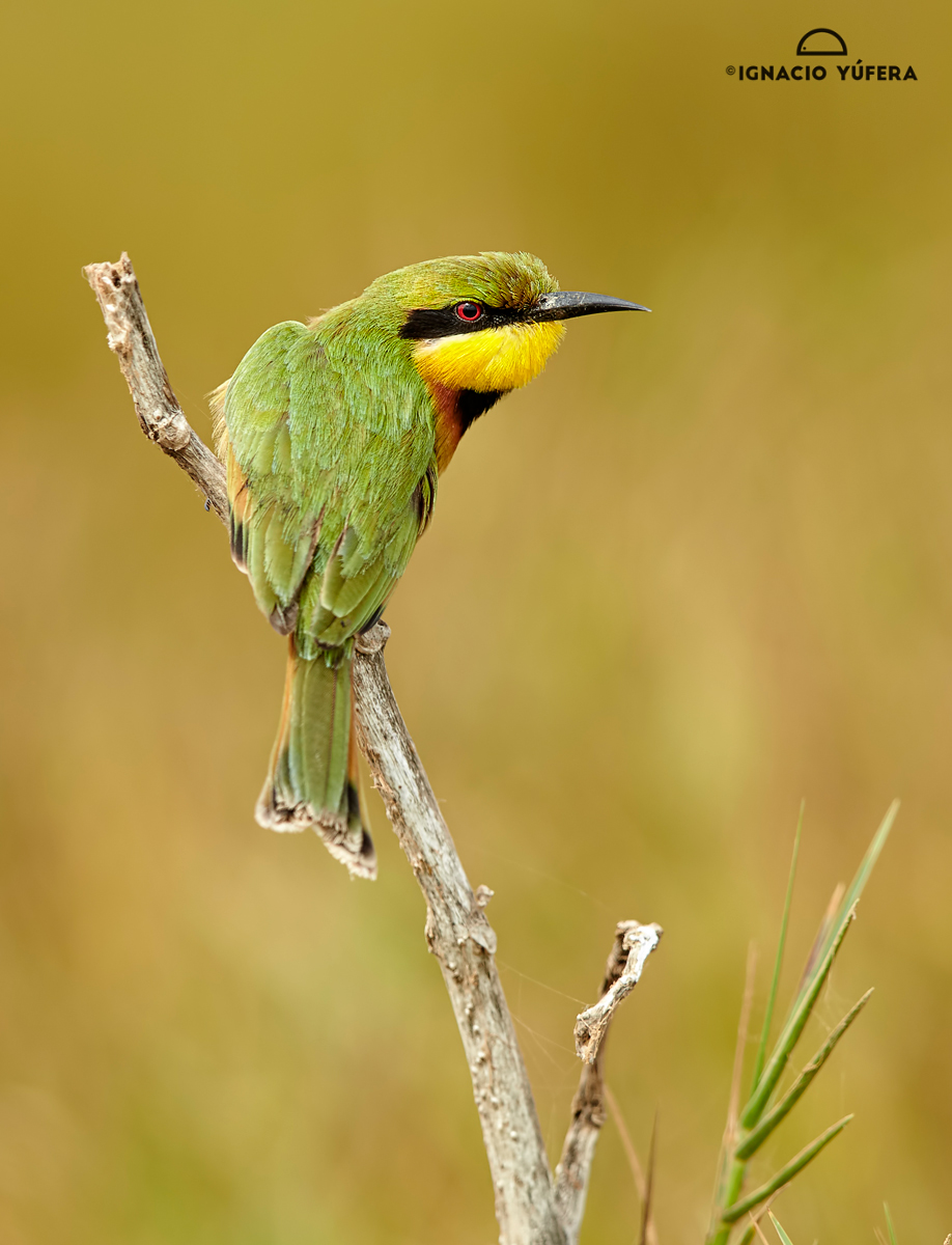 Little-Bee-eater-coll