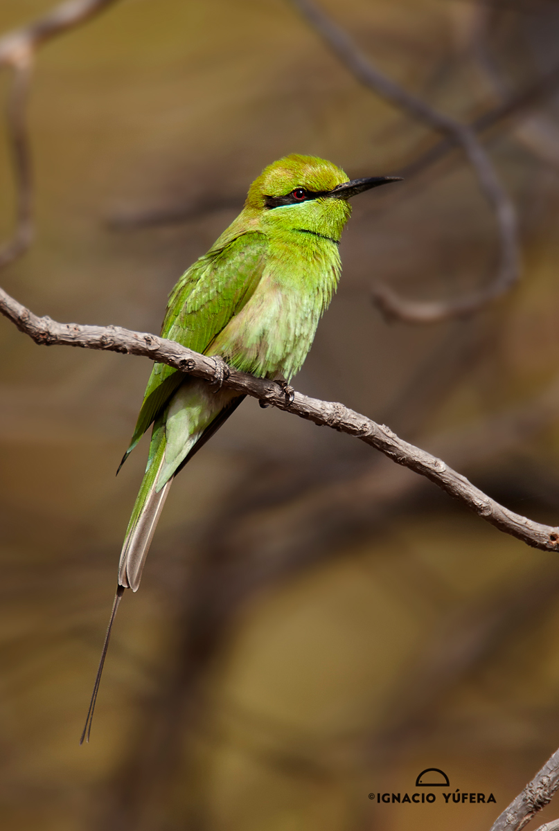 Little-Green-Bee-eater.-coll