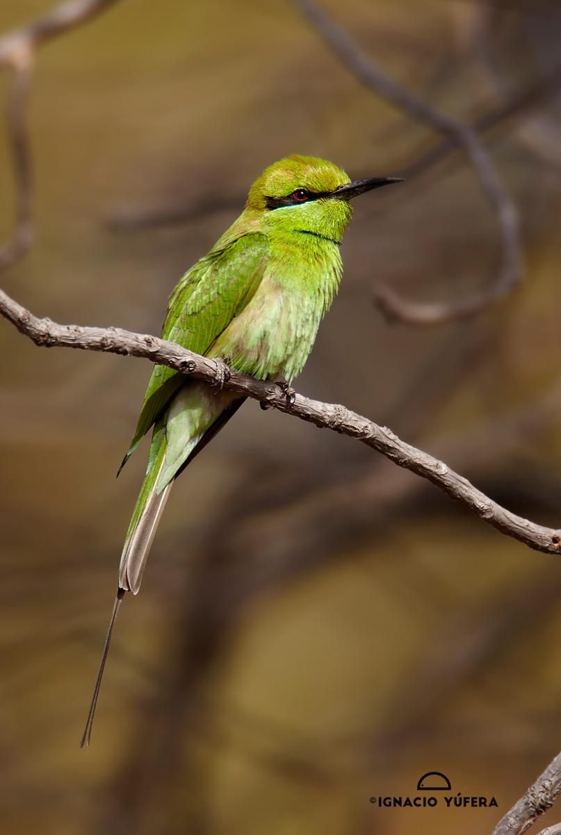 Little-Green-Bee-eater.-coll