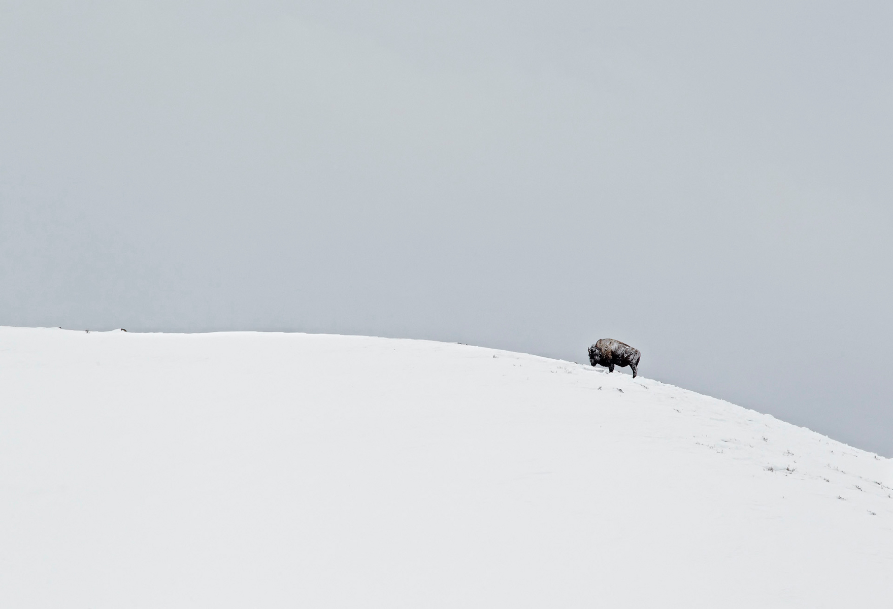 Lone-Bison