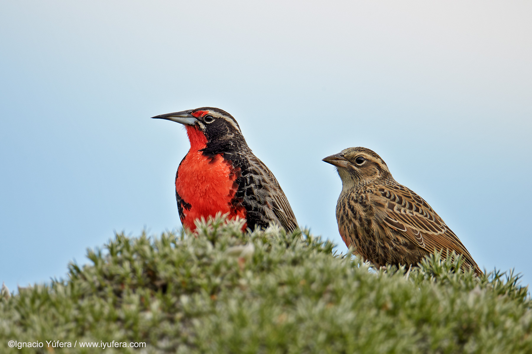 Long-tailed Meadowlark pair