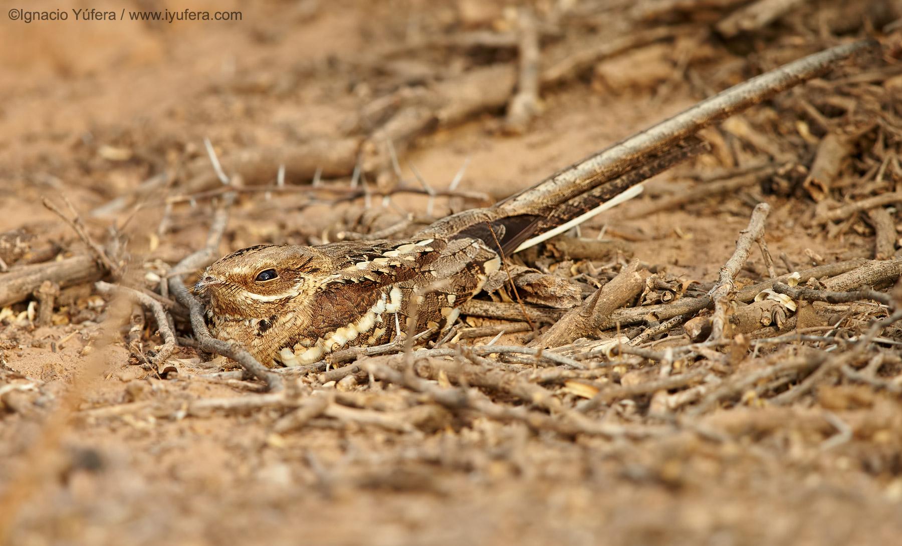 Long-tailed-nightjar-male