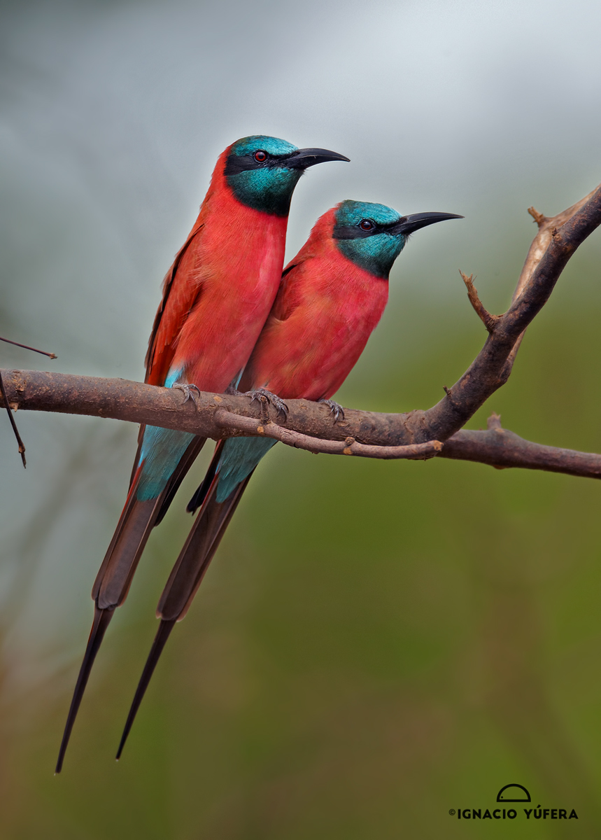 Northern Carmine Bee-eater (Merops nubicus), Niokolo-Koba, Senegal, October.