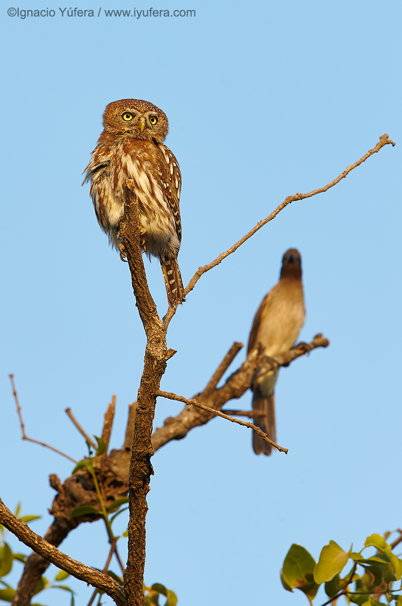 Pearl-spotted-owlet-and-bulbul