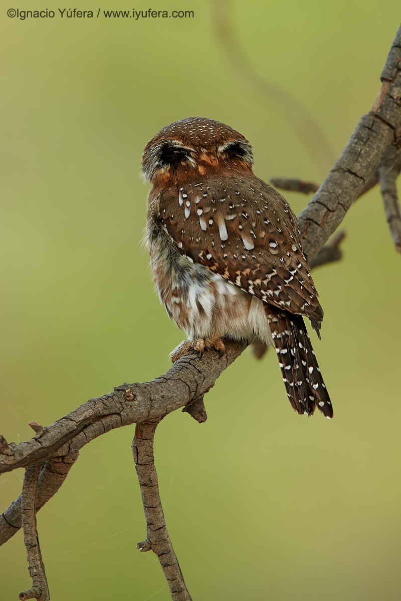 Pearl-spotted-owlet-back