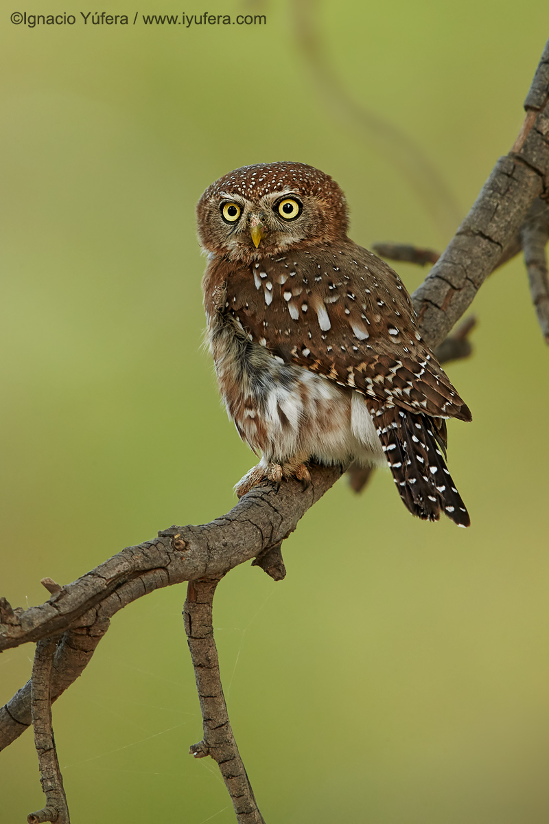 Pearl-spotted-owlet-front
