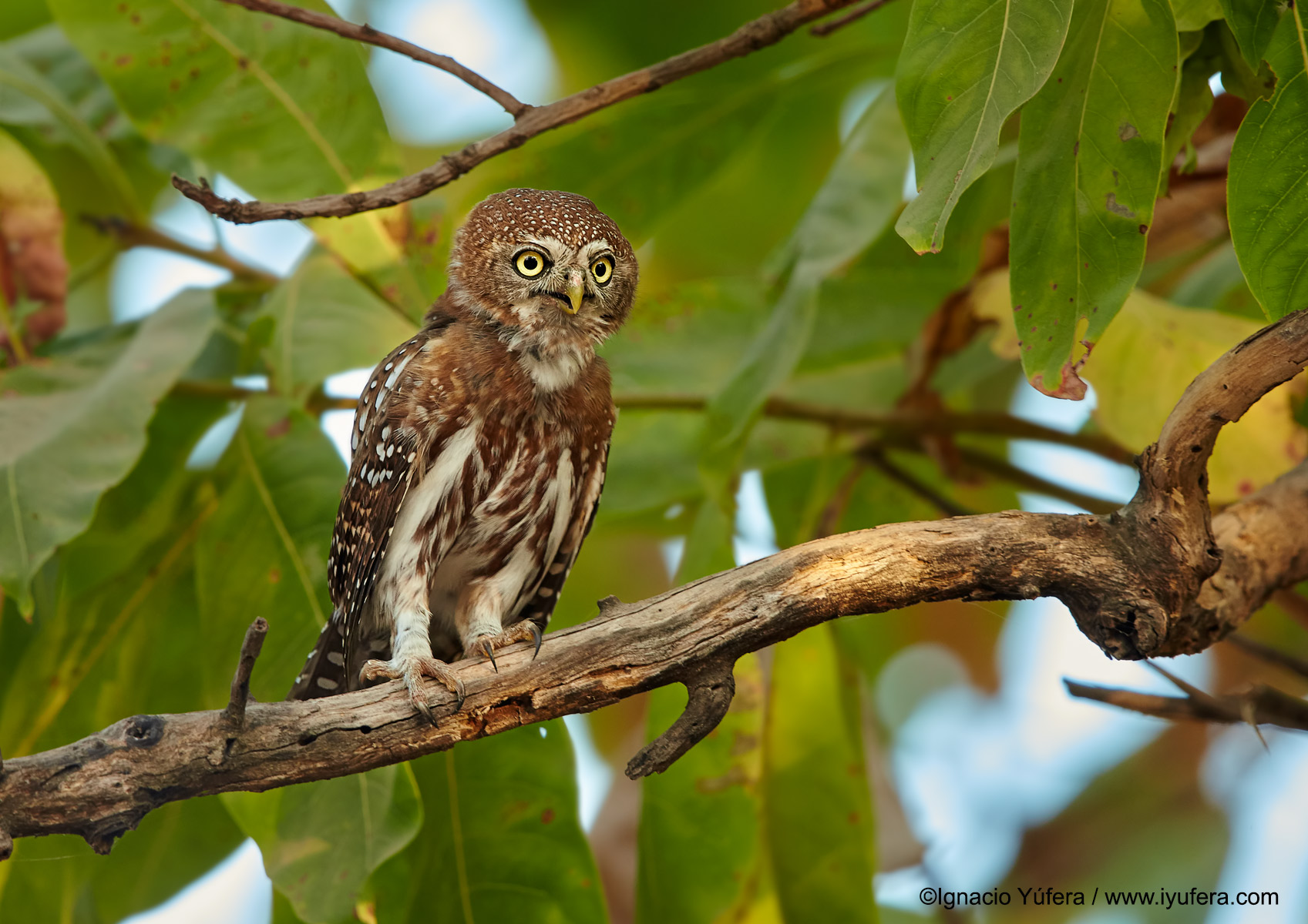 Pearl-spotted-owlet-solo