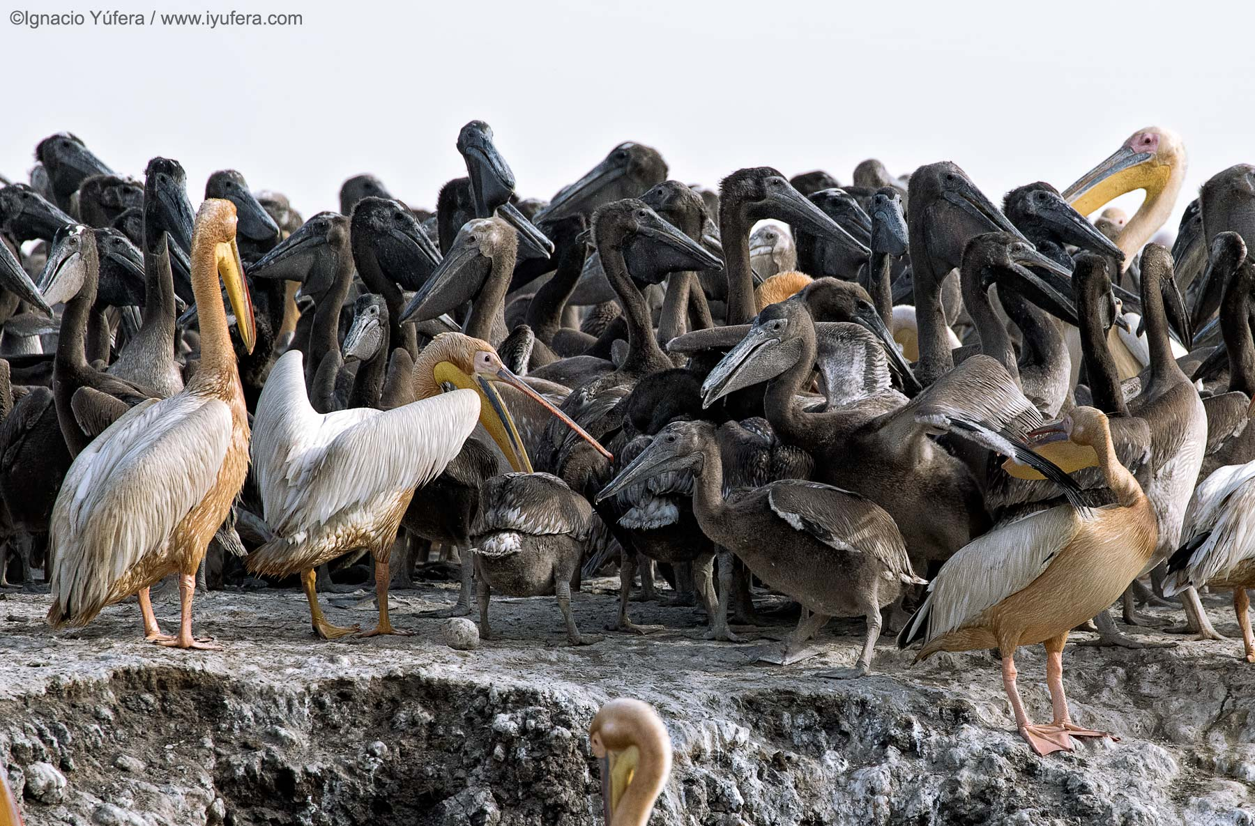 Pelican-chick-melee-b