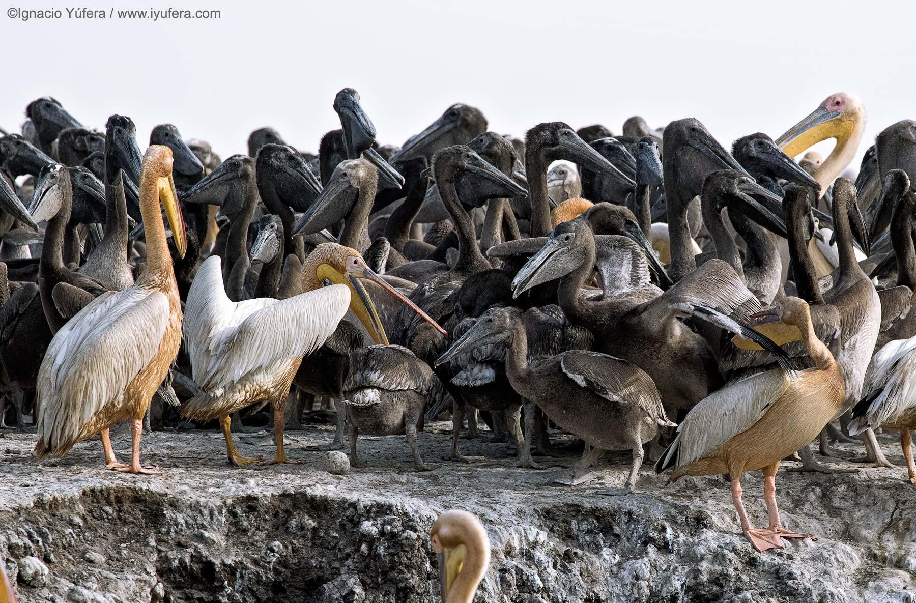 Pelican-chick-melee-b
