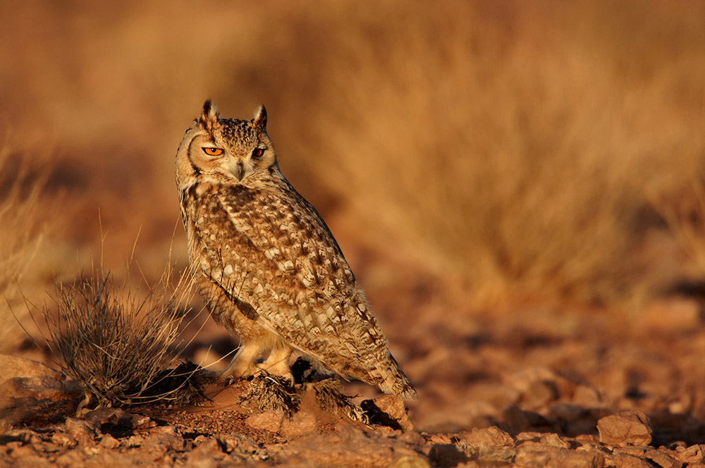 Pharaoh Eagle Owl Morocco