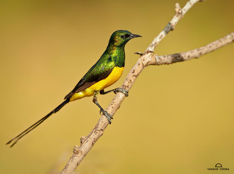 Pigmy-sunbird-cln-mark