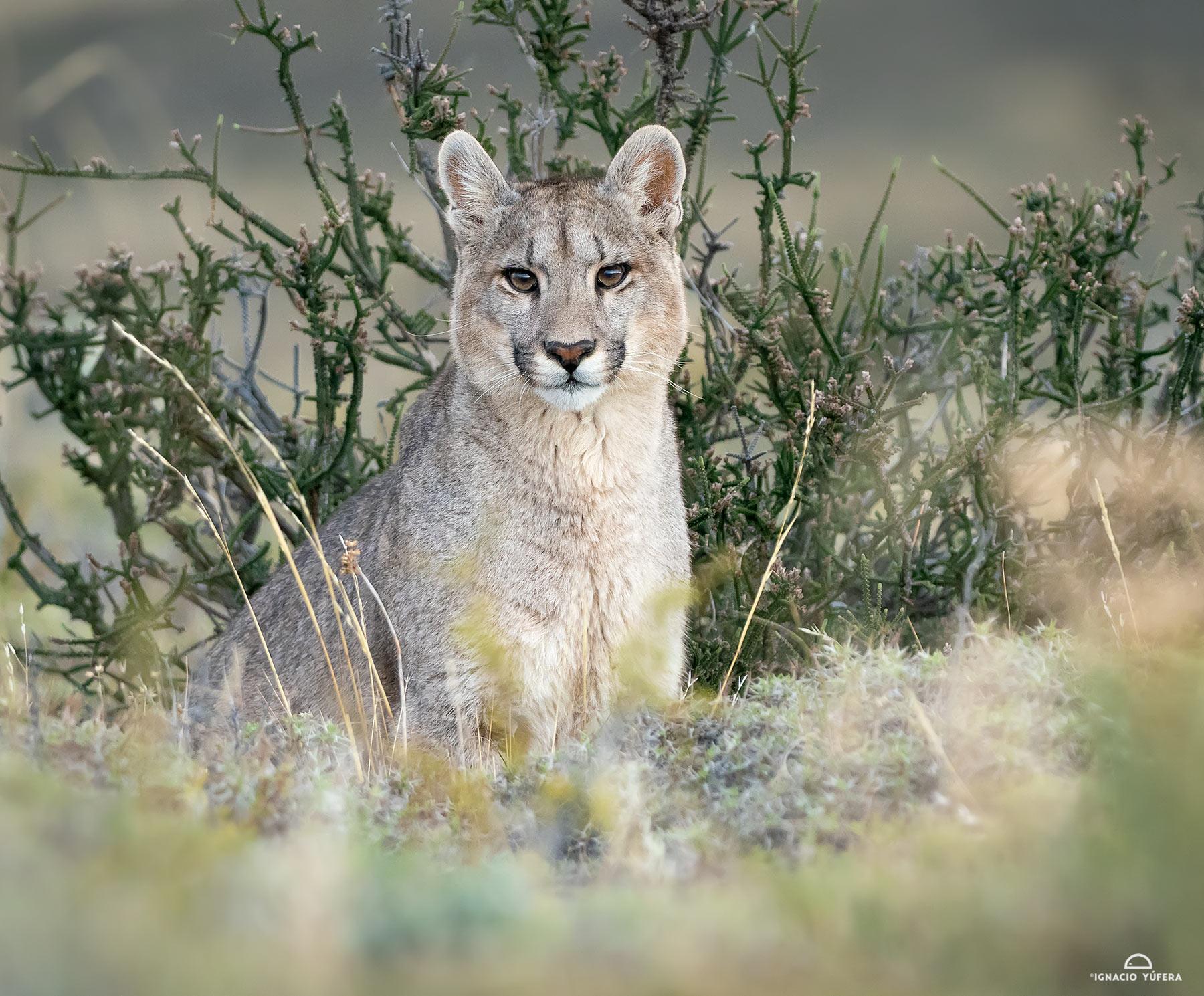 Puma-cub-female