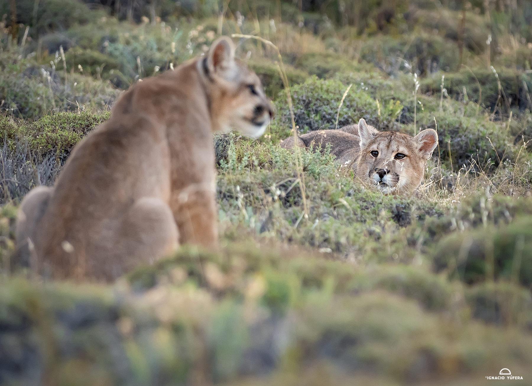 Puma-cubs-stalk-2