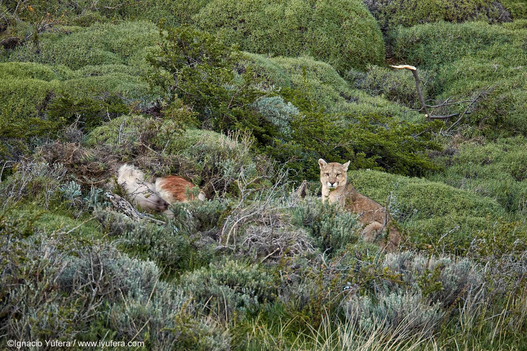 Puma with kill