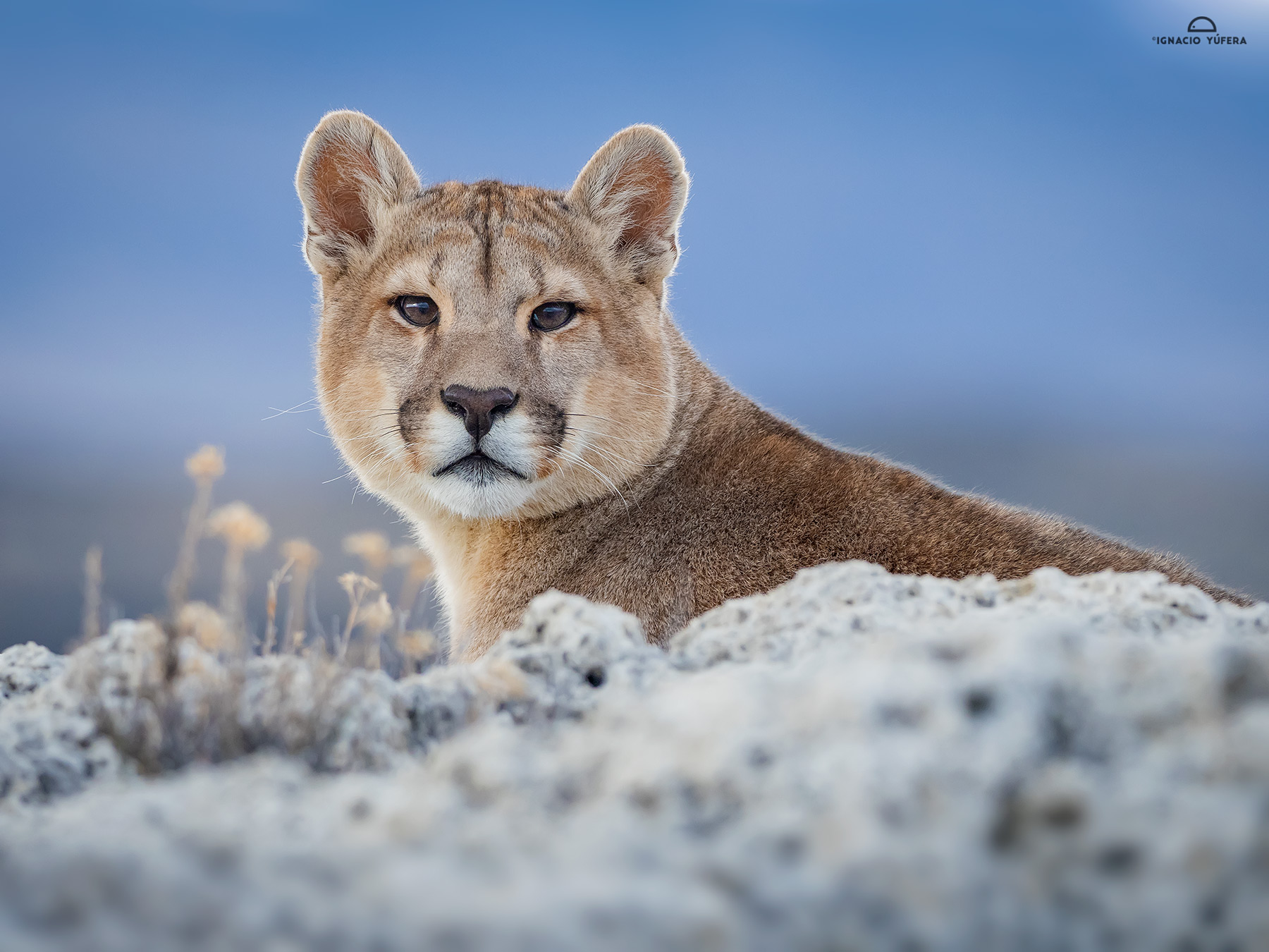 Puma-male-cub