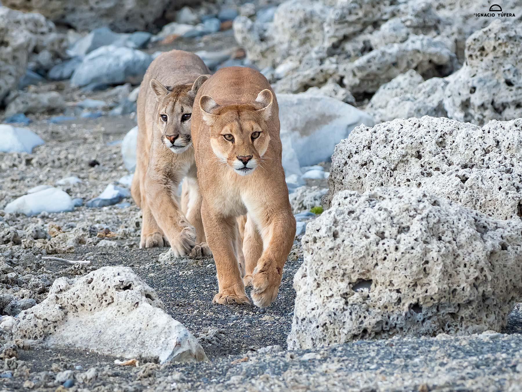 Puma-mom-and-cub