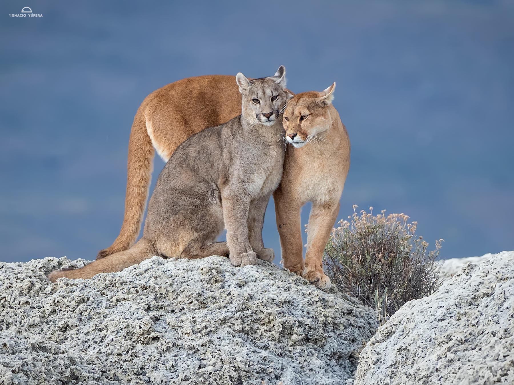 Puma-mom-&-cub-sign