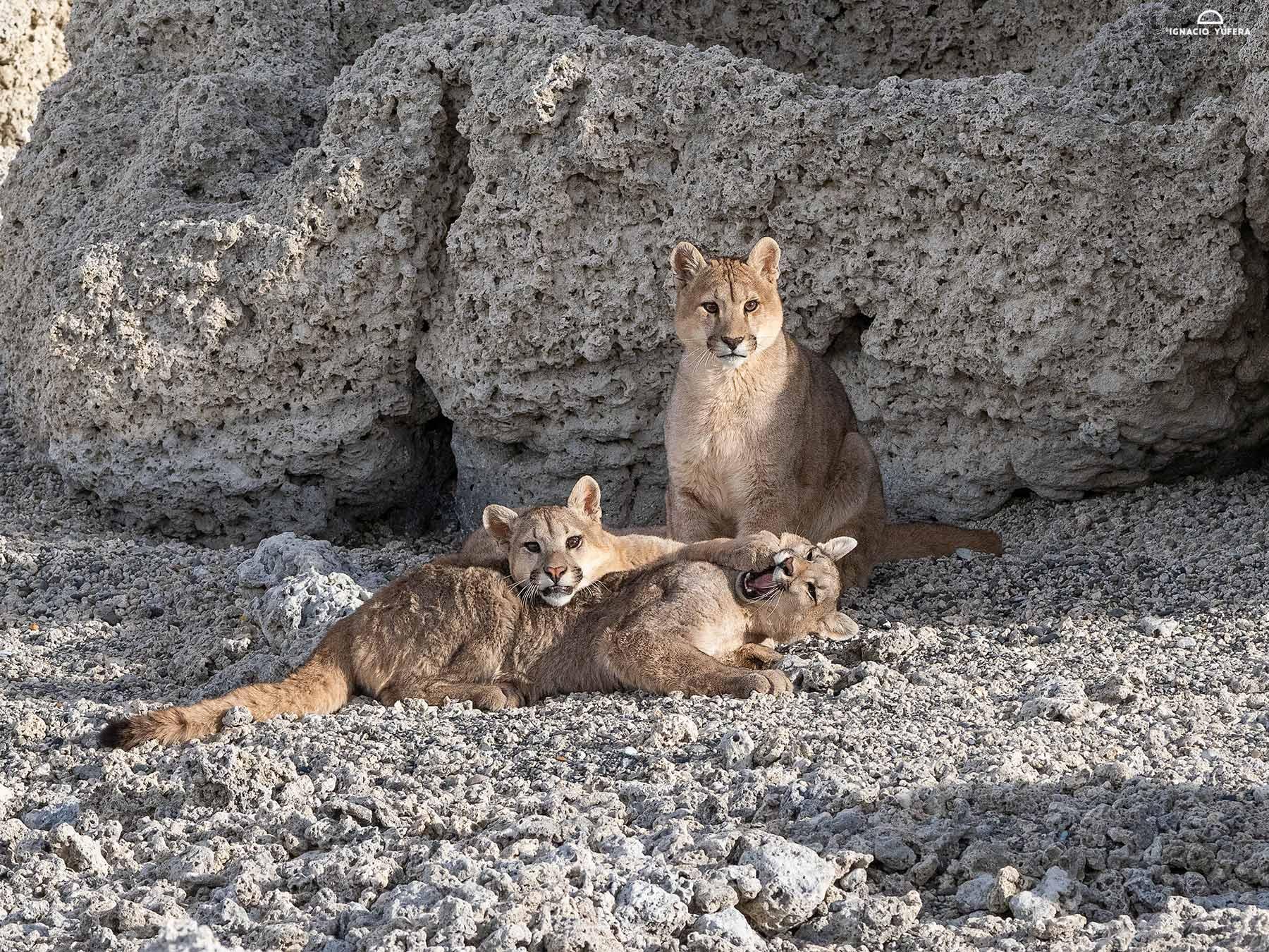 Puma-trio