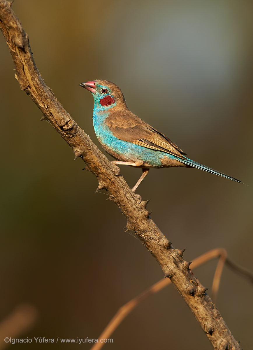 Red-cheeked-cordonbleu