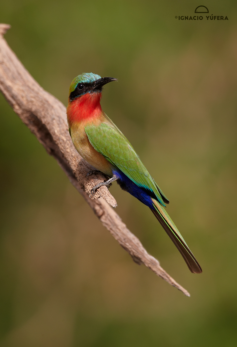Red-throated-Bee-eater.-coll